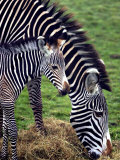 Baby Zebra with Mum Edinburgh Zoo  December 2001