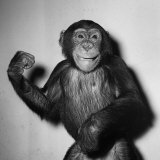 A Chimp  1955
