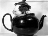 Pinkie the Guinea Pig Sitting in a Tea Pot