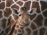 Baby Giraffe at Whipsnade Wild Animal Park Born  June 1996
