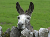 For the First Time Ever 3 Sicilian Minature Donkeys Have Been Born in Britain  2001