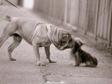 Dandelion the Chinese Shar Pei and Twiglet the Yorkshire Terrier  November 1981