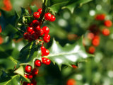 Holly Leaves with Lustrous Red Berries at Kenilworth Castle Grounds in Warwickshire