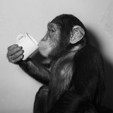 A Chimp Drinking a Cup of Tea Reproduction d'art