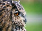 Ollie the European Eagle Owl  April 2003