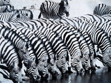 Zebra Herd Drinking at a Water Hole Etosha Game Reserve in Namibia Africa