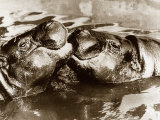 Hippos Kissing  1965