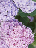 Close-up of Purple Blossoms