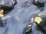 Maple Leaves on Rocks in Rapids