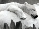 Pipaluk the Baby Polar Bear Sizzling in the Summer Hear