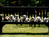 British Bulldog Puppies on a Park Bench  1994