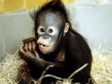 A Baby Orangutan at London Zoo  March 1984