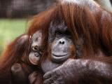 Orang-Utan Mother and Baby  April 1991