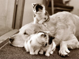 Golden Retriever Dog Adopts Kittens  1964