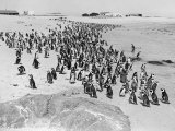 Penguins on the Beach at Dassen Island off the Coast of South Africa  1935
