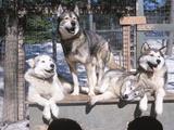 Cute Huskies in Dog Kennel