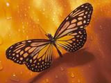 Monarch Butterfly on Orange Background