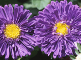 Purple Flowers with Yellow Centers