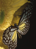 Beautiful Black and Yellow Butterfly on Blooming Yellow Flower