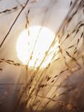 View of Gorgeous Sun Through Fresh Grain