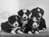 Scotch Bearded Collie Four Unidentified Puppies Owned by Willison