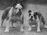 Two Unnamed Bulldogs Stand Together Owned by Green