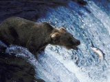 A Bear Trying to Catch a Fish