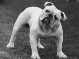 Bulldog