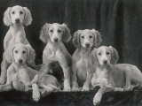 Group of Five Beautiful Saluki Puppies Owned by Mrs Barrs
