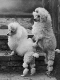 Pair of Miniature Poodles Owned by Thomas from the Fircot Kennel