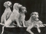 Group of Five Saluki Puppies Owned by Mrs Barrs