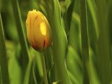 Tulip in Grass