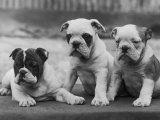 Three Bulldog Puppies Owned by Monkland