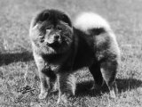Champion Choonam Hung Kwong Crufts  Best in Show  1936