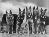 "Group of Mrs Leslie Thornton's Celebrated ""Southdown"" Alsatians"