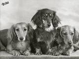Three Dachshunds Sitting Together from the &quot;Priorsgate&quot; Kennel Owned by Sherer
