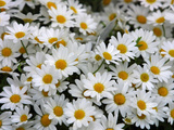 Daisies