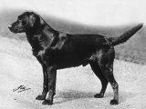Dual Champion Bramshaw Bob Crufts  Best in Show  1932 and 1933