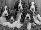 Five Large Spaniel Puppies Crowded in a Basket Owner: Browne