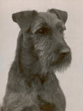 Jester the Head of a Welsh Terrier