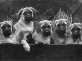 Row of Mastiff Puppies Owned by Oliver