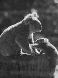 Koala and Her Cub