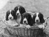 Four Large Puppies Crowded in a Basket Owner: Browne