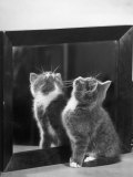 This Small Grey and White Kitten Stares up at the Ceiling While Sitting Next to a Large Mirror