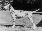 Champion Fanhill Faun Crufts Best in Show 1968 Dog Standing Side On