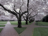 Cherry Blossoms on the University of Washington Campus  Seattle  Washington  USA