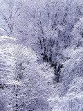 Snow Flocked Trees  Washington  USA