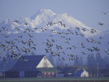 Snow Geese  Skagit Valley  Washington  USA