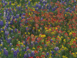 Texas Paintbrush and Bluebonnets with Low Bladderpod  Hill Country  Texas  USA