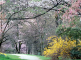 Spring Blooms in Washington Park Arboretum  Seattle  Washington  USA